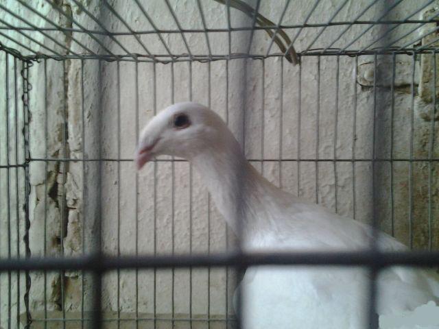 Почтовые голуби куплю голубей